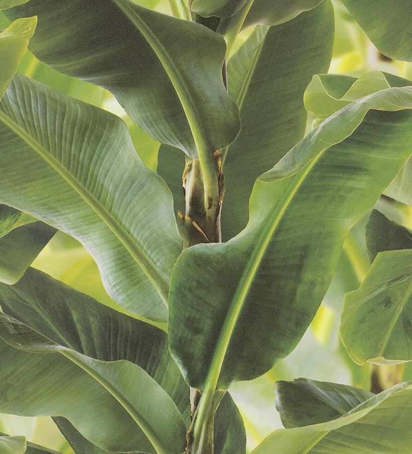Papel pintado tropical planta de hojas grandes Attalea 6716